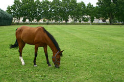 A horse with green field Stock Image