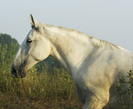 Horse is on a green field under a gray sky. White horse is on a green field under a gray sky Stock Images