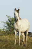 Horse is on a green field under a gray sky. White horse is on a green field under a gray sky Royalty Free Stock Images