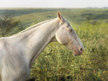 Horse is on a green field under a gray sky. White horse is on a green field under a gray sky Royalty Free Stock Photos