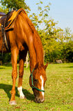 Horse on the green grass. Farm horse on the grass Stock Photos