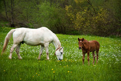 Horse on a green grass with a baby