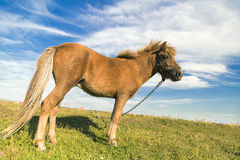 Horse on a green grass. With blue cloudy sky Royalty Free Stock Images