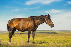 Horse on a green grass. With blue cloudy sky Royalty Free Stock Photography