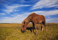 Horse on a green grass. With blue sky Stock Photos