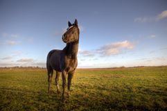 Horse on a green grass field. Young horse on a green grass field Stock Photography