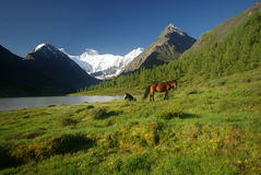 Horse among green grass in nature. Brown horse. Grazing horses in the mountains. Stock Image