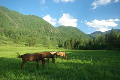 Horse among green grass in nature. Brown horse. Grazing horses in the village.  Royalty Free Stock Photo