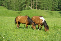 Horse among green grass in nature. Brown horse. Grazing horses in the village Royalty Free Stock Images