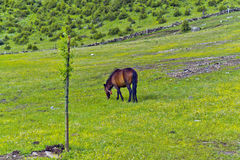 Horse. A horse on a green grass Plateau Stock Photo