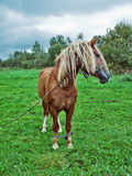 Horse on a green meadow Royalty Free Stock Image