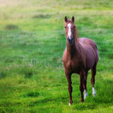 Horse on a green meadow. Brown and white horse on a green meadow Royalty Free Stock Photos