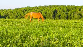 Horse on a green meadow stock video footage