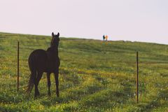 The horse in the green meadow is looking at couple people. The horse in the meadow is looking at couple people royalty free stock photography