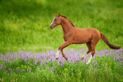 Horse on green meadow. Peaceful background - brown horse running on green grass meadow with pink flowers, picture for chinese year of horse 2014 stock images