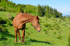 Horse in the green nature Royalty Free Stock Images