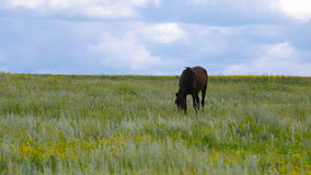 Horse on green pasture. Black horse on the green sunny pasture stock video footage