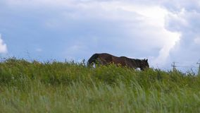 Horse on green pasture. Horse on pasture and blue sky stock footage