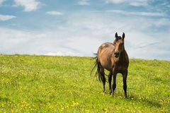 A horse on a green pasture with yellow flowers against a blue sky with clouds. Brown horse.  royalty free stock photos