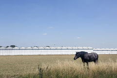 Horse and greenhouses in the netherlands near Waddinxveen. Horse and greenhouses in holland with blue sky near Waddinxveen Royalty Free Stock Photography