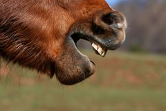 Horse grimase royalty free stock photography