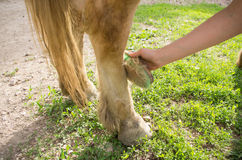 Horse grooming Stock Image
