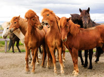 Horse group wild scream Royalty Free Stock Image