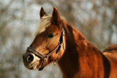 Horse Haflinger Royalty Free Stock Photo