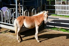 Horse haflinger foal in the mountains of italy royalty free stock images