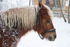 Horse Haflinger in winter Stock Image