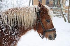 Horse Haflinger in winter Stock Image