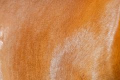 Horse hair Stock Photography