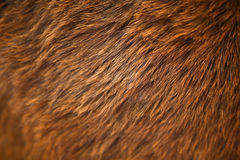 Horse hair Stock Image