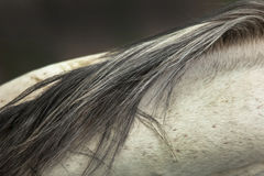 Horse hair Royalty Free Stock Photos