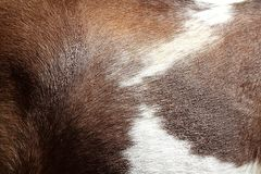 Horse hair skin texture brown and white Stock Images