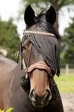 Horse with hairband Stock Image