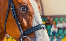 Horse half face looking forward on show jumping competition, viewers on blur background. Royalty Free Stock Photography
