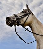 Horse, Halter, Bridle, Horse Tack Stock Images