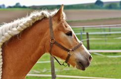 Horse, Halter, Bridle, Horse Tack Stock Photography