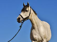 Horse, Halter, Bridle, Horse Tack Royalty Free Stock Photos