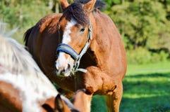 Horse, Halter, Bridle, Horse Tack Stock Photo