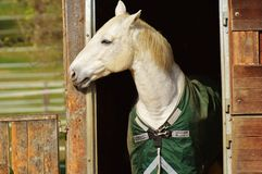 Horse, Halter, Bridle, Horse Tack Royalty Free Stock Photography