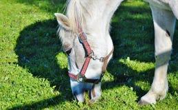 Horse, Halter, Grass, Horse Like Mammal Stock Image
