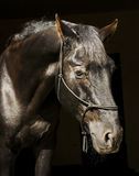Horse in halter of rope on a dark background Stock Image