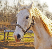 Horse in halter standing in a paddock next to the fence Royalty Free Stock Photography