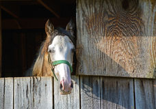 Horse with halter stares out of his barn window. Royalty Free Stock Image