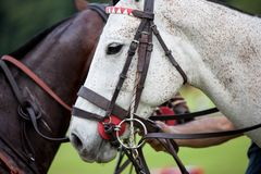 Horse halter Stock Photo