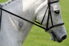 Horse in harmony. Head and shoulders photo of grey dressage horse in harmony Stock Image