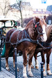 The horse in harness. A beautiful brown horse in harness in the street in a city close up. / The horse in harness Stock Photo