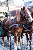The horse in harness. A beautiful brown horse in harness in the street in a city close up. / The horse in harness Royalty Free Stock Photo
